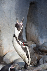 Lunchtime call (Mr-F.org) Tags: animals canon penguin outdoor winghamwildlifepark 52project humboldtspenguin