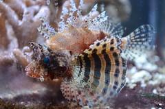 Fuzzy Dwarf Lionfish