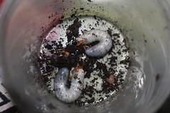 megasoma mars larvae (J_turner6) Tags: mars gideon insects care beetles larvae grubs entomology coleoptera torquata megasoma xylotrupes borneensis mecynorrhina ugandensis