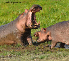 DSC_2007-b Vicious battle between male & female Hippos. Amboseli, Kenya. (GavinKenya) Tags: africa wild nature animal june john mammal photography gavin photographer kenya african wildlife july grand safari dk naturephotography kenyasafari africansafari 2015 safaris africanwildlife africasafari johngavin wildlifephotography kenyaafrica kenyawildlife dkgrandsafaris africa2015 safari2015 johnhgavin