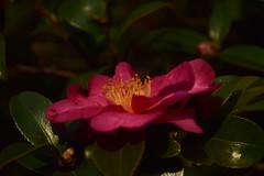 20151217_027_2 (まさちゃん) Tags: 山茶花 光 椿 雄蕊 雄しべ 雌蕊 雌しべ