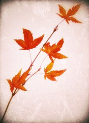 Golden glow (marksedgwick55) Tags: autumn stilllife orange macro tree fall texture leaves composition leaf maple warm decay warmth acer autumnal gentle