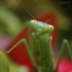Praying Mantid (OzzRod) Tags: macro square pentax insects prayingmantis mantid prayingmantid k5iis czjbiotar58cmf2