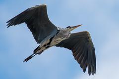 _F0A8853.jpg (Kico Lopez) Tags: ardeacinerea galicia garzareal lugo mio spain aves birds rio mio