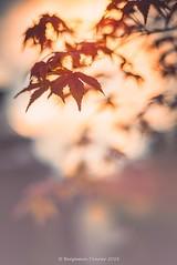 Maple foliage 1 (frattonparker) Tags: nikond600 nikkor50mmf18 lightroom6 adoberaw9 cs6 autumn fall frattonparker btonner isleofwight dof