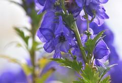 Aconitum ~Monkshood~ (careth@2012) Tags: monkshood aconitum nature petals
