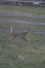 _MG_1863 (thinktank8326) Tags: deer whitetaileddeer fawn doe babyanimal babydeer