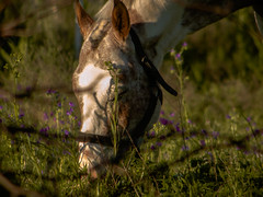 A horse eating grass // Caballo comiendo pasto (Nico Fernndez Palma) Tags: horse eating caballo comiendo whitehorse nature naturaleza peace peaceful paz tranquilidad animals 35mm