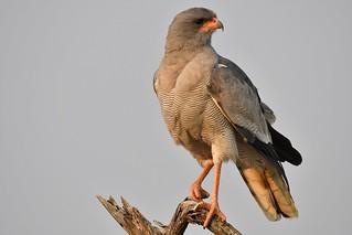 Southern Pale Chanting Goshawk, Madikwe GR, South Africa