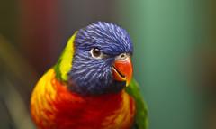 Colours (michel1276) Tags: papagei bird vogel parrot tier animal lori gebirgslori mnster zoo