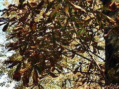 Horsechestnut (tinlight7) Tags: horsechestnut istanbul turkey tree autumn taxonomy:kingdom=plantae plantae taxonomy:clade=tracheophyta tracheophyta taxonomy:phylum=magnoliophyta magnoliophyta taxonomy:class=magnoliopsida magnoliopsida taxonomy:order=sapindales sapindales taxonomy:family=sapindaceae sapindaceae taxonomy:genus=aesculus aesculus castaños buckeyeshorsechestnuts taxonomy:common=horsechestnut taxonomy:common=castaños taxonomy:common=buckeyeshorsechestnuts
