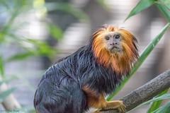 """""""Celantro,"""" Golden-headed Lion Tamarin (Leontopithecus chrysomelas) - Parker Aviary - San Diego Zoo (Jim Frazee) Tags: celantro goldenheadedliontamarin leontopithecuschrysomelas parkeraviary sandiegozoo"""