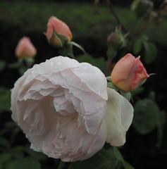 "Rosa ""Gentle Harmione"" (tgrauros) Tags: göteborg gentleharmione gothenburg konungariketsverige roserar roses suècia sverige sweden trädgårdsföreningen gardensocietyofgothenburg"