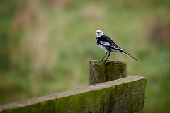 white wagtail (stevehimages) Tags: steve steveh stevehimages wowzers warden west midlands 2016 bird white wagtail stonnall staffordshire