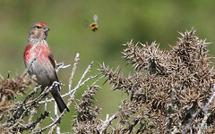 Linnet spying Lunch (Peter J. Ham.) Tags: linnet bee insect bird devon england wildlife colour sun holiday spy sight watch catch prey predator comic life light canon air lines linesofsight dof