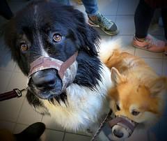 Help us (Per Jensen) Tags: dogs gagged monte baldo 2016 cable car lake garda italy icelandic sheepdog landseer sadeyes