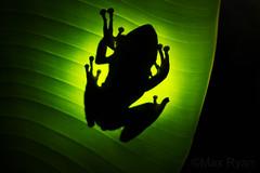 Polypedates megacephalus - Spot-Legged Tree Frog (Max Ryan Photography) Tags: polypedates treefrog frog backlight backlighting green herpetology