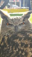 One grumpy owl! (GothiclyInclined) Tags: vexed grumpy owl owls birdofprey bird birds closeup zoomedin owlportrait miffed evils evileye funny amusing eagleowl