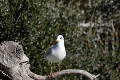 163A9206_DxO (Le Mhaut Sbastien) Tags: oiseaux camargue pont du gau