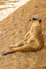 Lissabon, Portugal (Nic Ky) Tags: erdmnnchen timon zoo portugal lissabon hauptstadt sand sitzen chillen sommer hitze