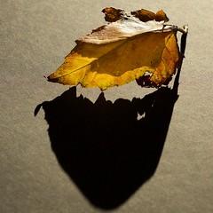 Leaf Shadows - HMM (11Jewels) Tags: canon 50mm backlight macromonday leaf light