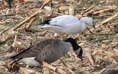 Ross's Goose (Chen rossii) 11-28-2016 Rt. 2 at Ducks Lane, Anne Arundel Co. MD 3 (Birder20714) Tags: birds maryland geese waterfowl anatidae chen rossii