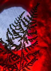 Two fern tips. Macro Monday (backlit) (dingerd11) Tags: