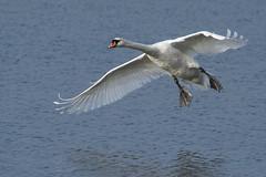 Mute Swan (Bill Richmond) Tags: muteswan cygnusolor large adult flight welney nikond810 nikon500f4