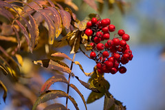 Rote Beeren (Sven Vietmeier) Tags: automne derborence lärche mélèzes rando schweiz suisse switzerland valais wallis wanderung randonnée lã¤rche mã©lã¨zes randonnã©e