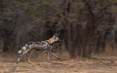 African Painted Dog (janiszeh) Tags: 2016 africa manapools zimbabwe animals predators travel wilddogs mashonalandwestprovince zw