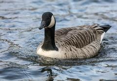 Canada Goose (2) (grahamh1651) Tags: helstonboatinglake birds gulls ducks geese waterbirds swans