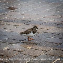 Turnstone (doublejeopardy) Tags: bird turnstone stives cornwall seabird saintives england unitedkingdom gb