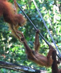 Copains de jeux (stephaneallain) Tags: orangs outans animaux sauvages singe borno malaisie nature rserve animale