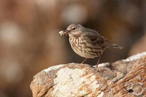 Strandpieper - Rock pipit - Anthus petrosus