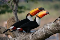 Toco Toucan - Seeing Double (Barbara Evans 7) Tags: toco toucan two pantanal brazil barbara evans7