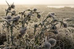 Frost covered thistle (Jesper Krogh, DK) Tags: tidsel tidligmorgen thistle wintermorning vinter vissingenge vintermorgen frost winter