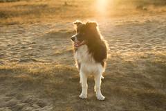IMG_7512 (Marcel Hendriks) Tags: dog sunny backlight golden slate veluwe bordercollie sand