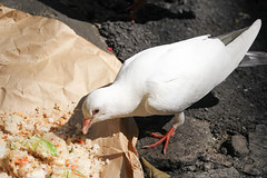 White Dove (Huyscout) Tags: huyscout vietnam viet nam dove white animal bird peace peaceful
