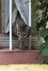 Stepping Out ... (AnyMotion) Tags: nelli catdoor katzentre firststeptowardsfreedom pet cat cats katze katzen animals tiere portrait portrt 2016 anymotion tabby getigert atigrada flin chat gata 7d2 canoneos7dmarkii