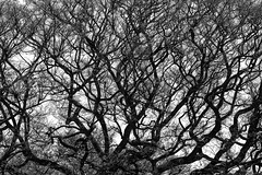 (Mehrdad Mir) Tags: tree bnw black white branches nature california