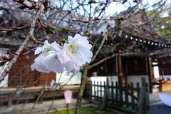 DSC02839 (MrSUIZOU) Tags: 京都 紅葉 北野天満宮 平野神社 十月桜