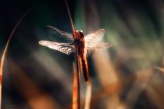 Infinitesimal jungle contemplator II (Salwan Binni) Tags: dragonfly nature macrophotography salwanbinni sony sonycamera sonydslr sonya350 sigmalens adobephotoshop