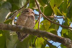 Owlet @ Kaziranga s60 f7.1 I200 400mm (mahesh.kondwilkar) Tags: kaziranga owlet assam india birds owl