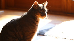rays (valkulakov) Tags: cats cat pet pets animal animals sun sunshine house light warmth flickr