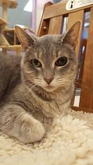 Drama (DDA1) Tags: saveapetilorg adoption adoptioncenter adoptionshelter adoptable adopt cat specialneeds graycat