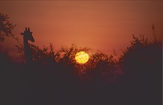 South Africa 2006 (patrikmloeff) Tags: südafrika southafrica suidafrika zuidafrika afriquedesud südlichesafrika southernafrica afrika africa afrique african afrikanisch erde earth terre monde welt world ferien urlaub vacances holiday holidays beautiful analog analogue minolta sommer summer eté travel traveling reise reisen voyage outdoor adventure giraffe girafe sun sonne sonnenuntergang sunset silhoutte nacht dunkel dank night nuit soleil