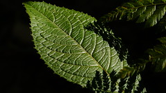 Folha / Leaf (ricardo.baena) Tags: brazil nature brasil natureza paranapiacaba notreatment semtratamento a6000