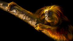 Golden-headed lion tamarin (Leontopithecus chrysomelas), Mico-leo-de-cara-dourada (endangered species) (Clovis Camozzi) Tags: brazil cute nature beautiful animal closeup canon photography gold monkey mono cool colorful pretty sweet ngc naturallight dourado macaco mico tamarin lightroom naturephotography endangeredspecies animalportrait leontopithecuschrysomelas goldenheadedliontamarin micoleodecaradourada 700d t5i