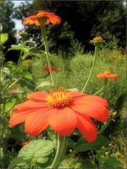 (Tlgyesi Kata) Tags: blossom botanicalgarden vcrtt mexicansunflower tithoniarotundifolia botanikuskert vcrttibotanikuskert withcanonpowershota620 mexikinapvirg nvnyrendszertanigyjtemny systematicalcollection phylogeneticplantcollection