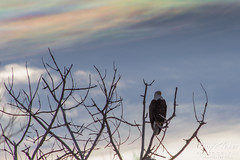 Iridescent Clouds Provide Backlighting for Bald Eagle